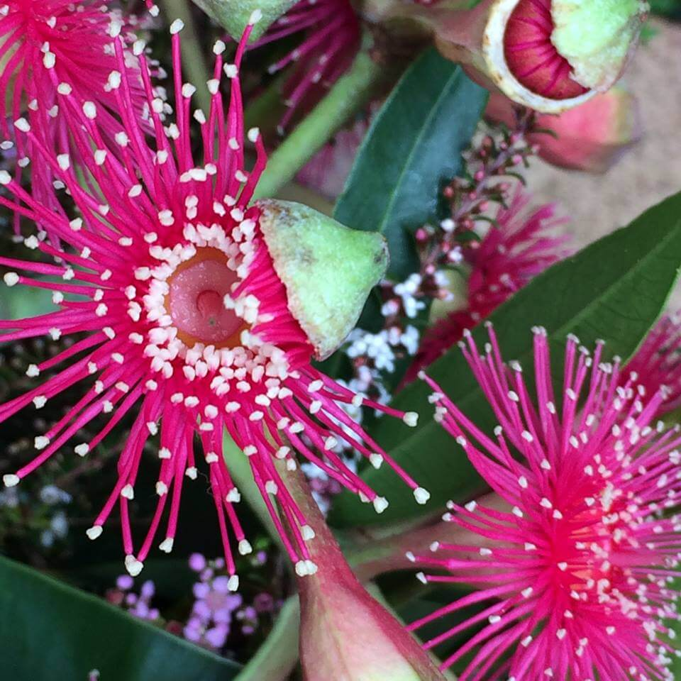 Eucalypt blossom in stages